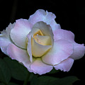 Laurie's Rose by Warren Sarle