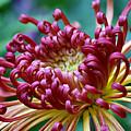 Lava Chrysanthemum by Nikolyn McDonald