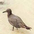 Lava Gull, Leucophaeus Fuliginosus,santa Cruz Island In Galapag by Marek Poplawski