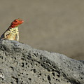 Lava Lizard On Lava Rock by Sami Sarkis