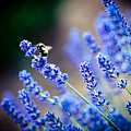 Lavander Flowers Macro With Bee In Lavender Field by Raimond Klavins