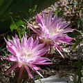 Lavendar Cactus Flowers by Kathy McClure