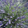 Lavender 2 by Valerie Josi