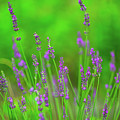 Lavender by Alex Zabo