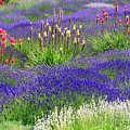 Lavender And Flowers Oh My by Debra Orlean