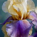 Lavender And Gold Iris by George Ferrell