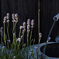 Lavender And Watering Can by Richard Thomas