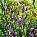 Lavender At Pilgrim Place In Claremont-california by Ruth Hager