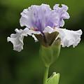 Lavender Bearded Iris #2 by Judy Whitton
