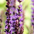 Lavender  by Becca Wilcox