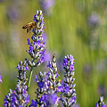 Lavender Bee by Rod Best