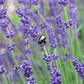 Lavender Beetle by Maria Joy