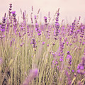 Lavender Blossom by Monika Tymanowska