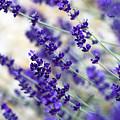 Lavender Blue by Frank Tschakert