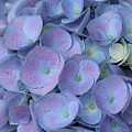 Lavender Blue Hydrangea by Carol Groenen