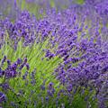 Lavender Breeze by Jani Freimann