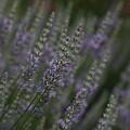 Lavender by Carrie Goeringer
