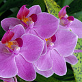 Lavender Colored Orchids by Bill Brennan - Printscapes