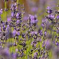 Lavender by Dean Hueber