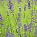 Lavender Dream by Jani Freimann