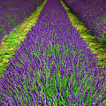 Lavender Dream by Jean-Claude Ardila