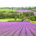 Lavender Farms In Sevenoaks by Zahra Majid