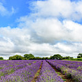 Lavender Field by Colin Rayner