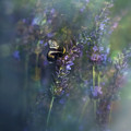 Lavender Field II by Ezo Oneir