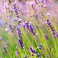 Lavender Field by Natalia Macheda