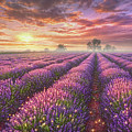 Lavender Field by Phil Jaeger