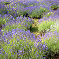 Lavender Field, Tihany, Hungary by Attila Jandi
