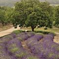 Lavender Field by Tim Hauf
