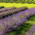 Lavender Fields Forever by Kendall McKernon