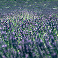 Lavender by Flavia Westerwelle