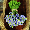 Lavender Flower  by Natalia Klenova