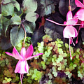 Lavender Fuchsias Just Hanging Around The Garden by Elaine Plesser