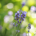Lavender Garden by Frank Tschakert