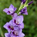 Lavender Gladiolus  by Charles Hite