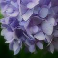 Lavender Hydrangea by Smilin Eyes  Treasures