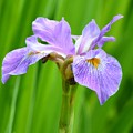 Lavender Iris by Maria Urso