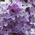 Lavender Lilacs by Cris Fulton