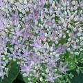 Lavender Lovelies by Anne-Elizabeth Whiteway
