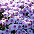 Lavender Mums by Linda Benoit