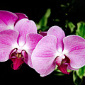 Lavender Orchids  by Andee Design
