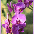 Lavender Orchids by Lorraine Baum