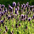 Lavender Pano by Jerry Sodorff