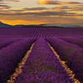 Lavender Provence by Andre Distel