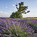 Lavender Provence  by Juergen Held