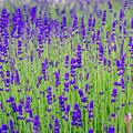 Lavender by Rainer Kersten