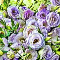 Lavender Ranunculus  by Mary Pille